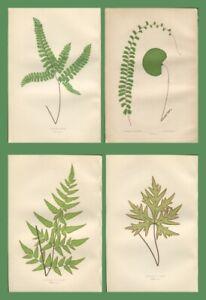 Lot of 4 LOWE Antique Fern Prints Botanical fern ADIANTUM, DRYOPTERIS Lot 75