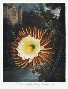 The Night-Blowing Cereus Temple of Flora by Robert John Thornton Print Repro V1