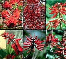 Naked Coral Tree 10 Seeds - Erythrina- Outdoors/Bonsai