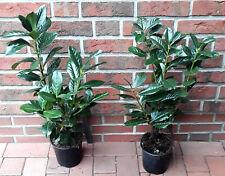 10 Kirschlorbeer - Pflanzen, Prunus Novita, Höhe: 60-70 cm, Heckenpflanzen, 3L.