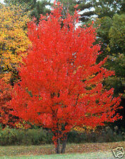 Red Maple/Curled Maple Seed Brilliant Autumn Colour Frost Hardy Bonsai