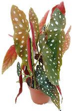 """Begonia maculata """"wightii"""" - Forellenbegonie - wunderschöne Zimmerpflanze"""