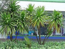 """Three Kings  Cabbage Tree   """"Cordyline kasper""""    10 Seeds"""