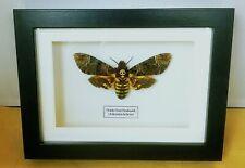 Deaths Head Hawk Moth  (Acherontia lachesis)  in frame