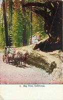 Db Postcard CA Da205 Big Tree People with Team of Horse and Buggy Sierra Nevada