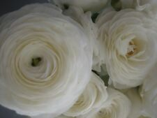 15+ Ranunculus Flower Seeds / White / Reseeding Annual / Persian Buttercup