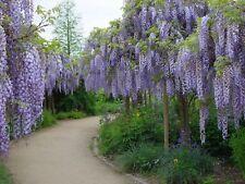 Wisteria Sinensis 6 Seeds, Fragrant Hardy Chinese Climber Vine Bonsai Tree