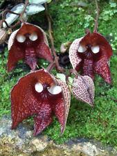 30pcs Darth Vader (Aristolochia Salvadorensis) Flower Seeds