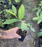 Barbie Pink Guava Tree - Pink Guava Plant - Psidium Guajava - Guava Leaf Tea