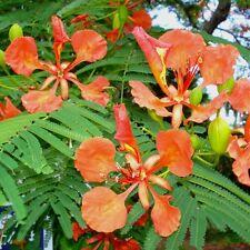 Delonix regia ROYAL POINCIANA, Flamboyant  Tree, HUGE SCARLET BLOOMS ~SEEDS~