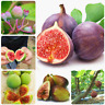 Bonsai Tiger Stripe Fig Tree 50 PCS Seeds Ornamental Plant Natural Growth Garden