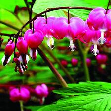 10PCS Perennial Herbs Dicentra Spectabilis Flower Plant Bleeding Heart Seeds New
