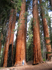 New listing 100 Pcs rare giant redwood seeds,fast growth, rare tree seeds for garden decorat