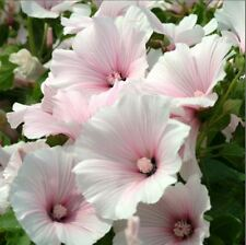 Flower - Kings Seeds - Picture Packet - Lavatera - Dwarf Pink Blush - 100 Seed