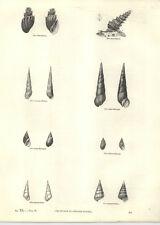 1854 grabados Negro Melanopsis amargo Melania eulima