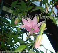 🔥 Passiflora Mollissima 6 frische Samen Bananenpassionsfrucht ** LECKER