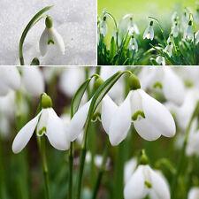 200 SNOWDROP GALANTHUS SEEDS AUTUMN GROWING GARDENING SPRING WHITE FLOWER Deko##