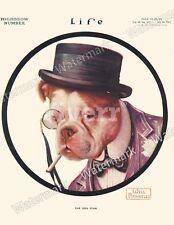 Vintage Life Magazine ReprintBulldog by Will Rannells