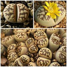 50 graines de Lithops dorotheae, pierres vivantes, plantes semi-succulentes F