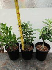 3X succulent desert rose plant,adenium ,grown in USA,1-2 year old 1 foot tall!