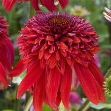 Sonnenhut Echinacea Marmalade Qualitäts-Stauden Kombiversand TOP Bewertungen