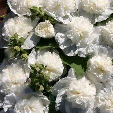Alcea rosea 'The Bride' / Double Hollyhock / 25 Seeds