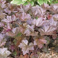 Kings Seeds - Heuchera Bressingham Hybrids - 250 Seeds