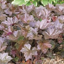 Kings Seeds - Heuchera Bressingham Hybrids - 250 Seeds