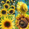 6/15/20Pcs  Sunflower Seeds - Flower Seed - Herb Seed Home Garden Decor Plant