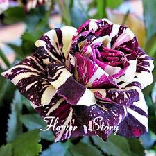 FREE SHIPPING!!! 20 Black Dragon Rose Seeds ,Beautiful Stripe Rose Bush Plant
