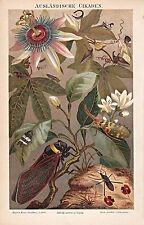 Tipos de insectos, chicharra, cikade, su chirrido, stierzirpe, knotenzirpe. litografía 1900
