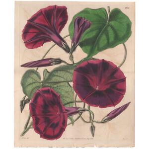 Curtis Botanical Mag Hooker antique 1843 h/c engraving double 4024 Gaybine