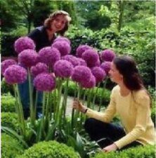 20x Riesen Lila Blumen Samen Saatgut Hingucker Garten Pflanze Rarität Neu #77