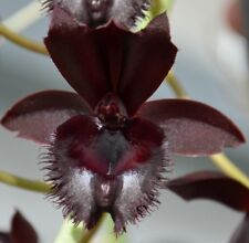 MOS. Orchid Fredclarkeara Midnight Lace  (mericlone)