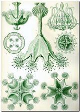 "ERNST HAECKEL CANVAS PRINT Art Nouveau Vintage Nature 18""X 12"" Stauromedusae"