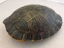 Real Turtle Shell - 10-10.75 inch Long - River Cooter (King)- Carapace Taxidermy