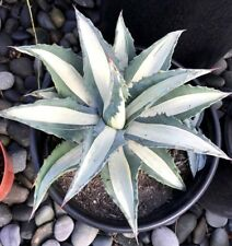 "VARIEGATED AGAVE AMERICANA MEDIO-PICTA ALBA, with roots 12 - 15"", 5 Gallon Pot"