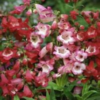 Penstemon- Sensation Mix- Hartwegii- 100 Seeds- BOGO 50% off SALE