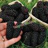 100 graines Triple Crown Blackberry Giant Thornless Blackberries Black Berries