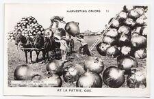 Harvesting Onions LA PATRIE Estrie Quebec Canada 1940s Exaggeration RPPC 13
