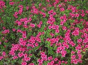 Rhododendron obtusum AZALEA Seeds!