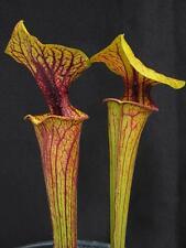 Carnivorous Sarracenia flava var ornata Telogia