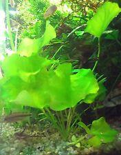 1 Pousse Lotus Nenuphar Plante Vivante Aquarium