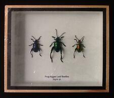3 frog-legged leaf beetles sagra femorata beetle taxidermy insect entomology