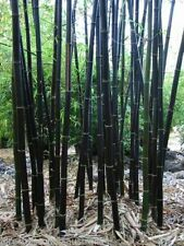 Fresh Black asper bamboo (Dendrocalamus asper) Seeds Fast Shipping