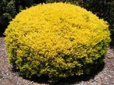 30x Golden Diosma Plants Garden Hedging plants buy bulk and save