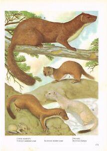 Pine Marten Weasel Stoat Animal Print Picture Vintage 1972 OBOV#171