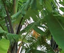 BANANA -Musa balbisiana Atia Black 10 seeds