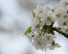 """Wild Black Cherry Tree (Prunus serotina) 6-12"""" Lot Of 10"""