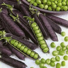 30 Purple Pea Podded Seeds-Magnetout SHIRAZ Heirloom Organic Vegetable